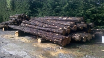 <h5>01 Macrocarpa logs felled by client</h5>